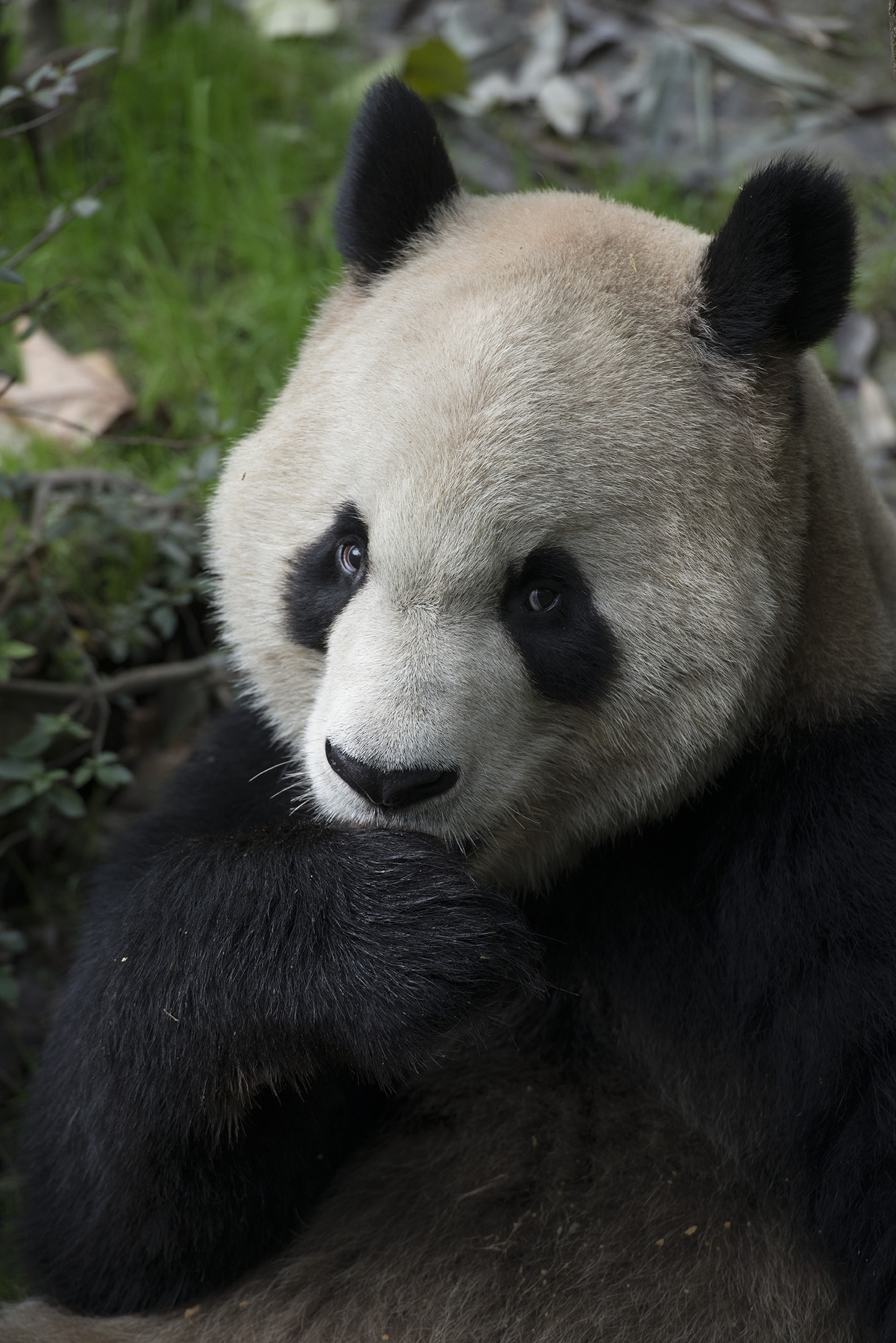A Giant Panda at China's Chengdu Panda Base as seen in the new IMAX® film, PANDAS