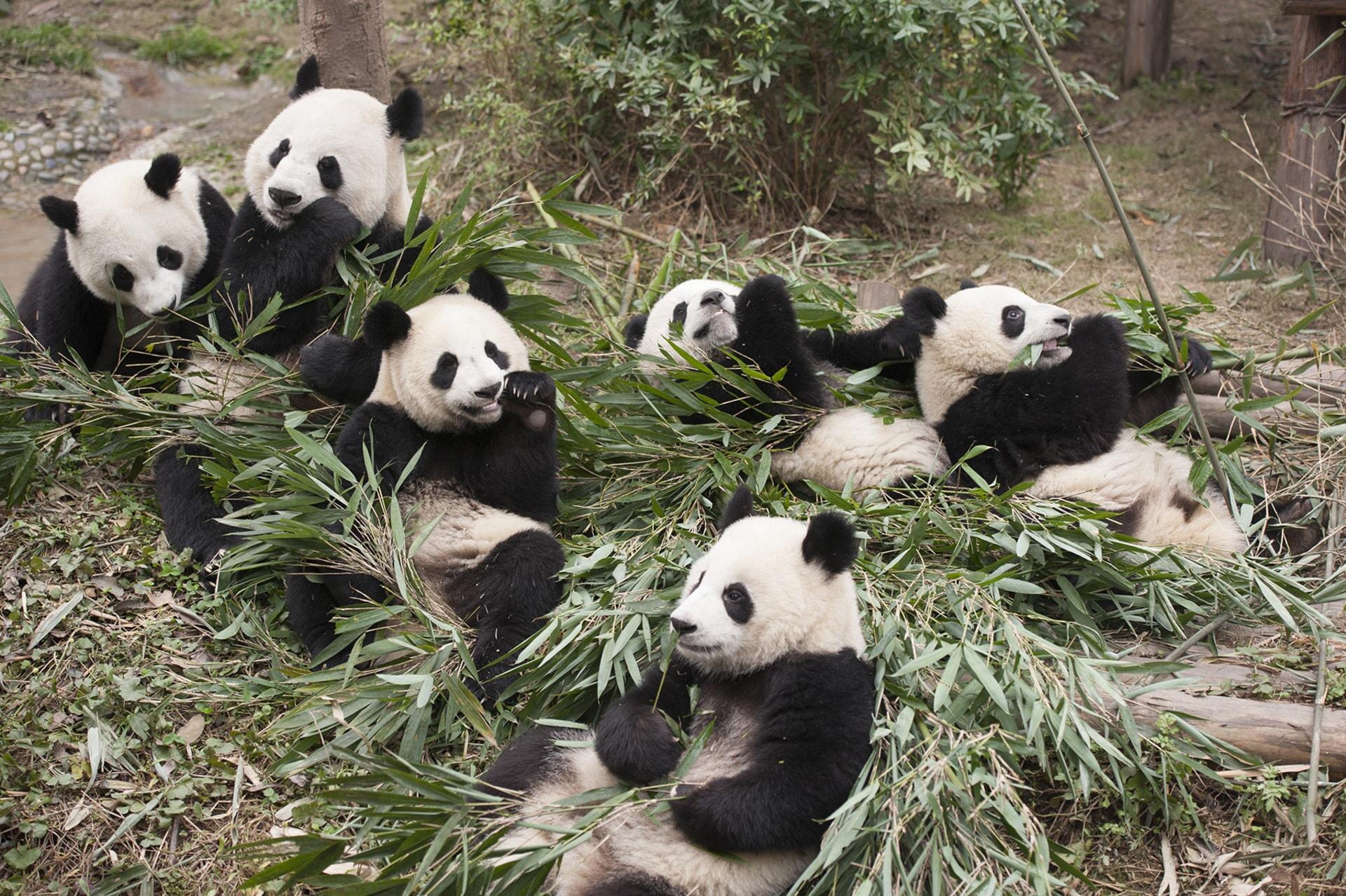 Giant Pandas at China's Chengdu Panda Base as seen in the new IMAX® film, PANDAS