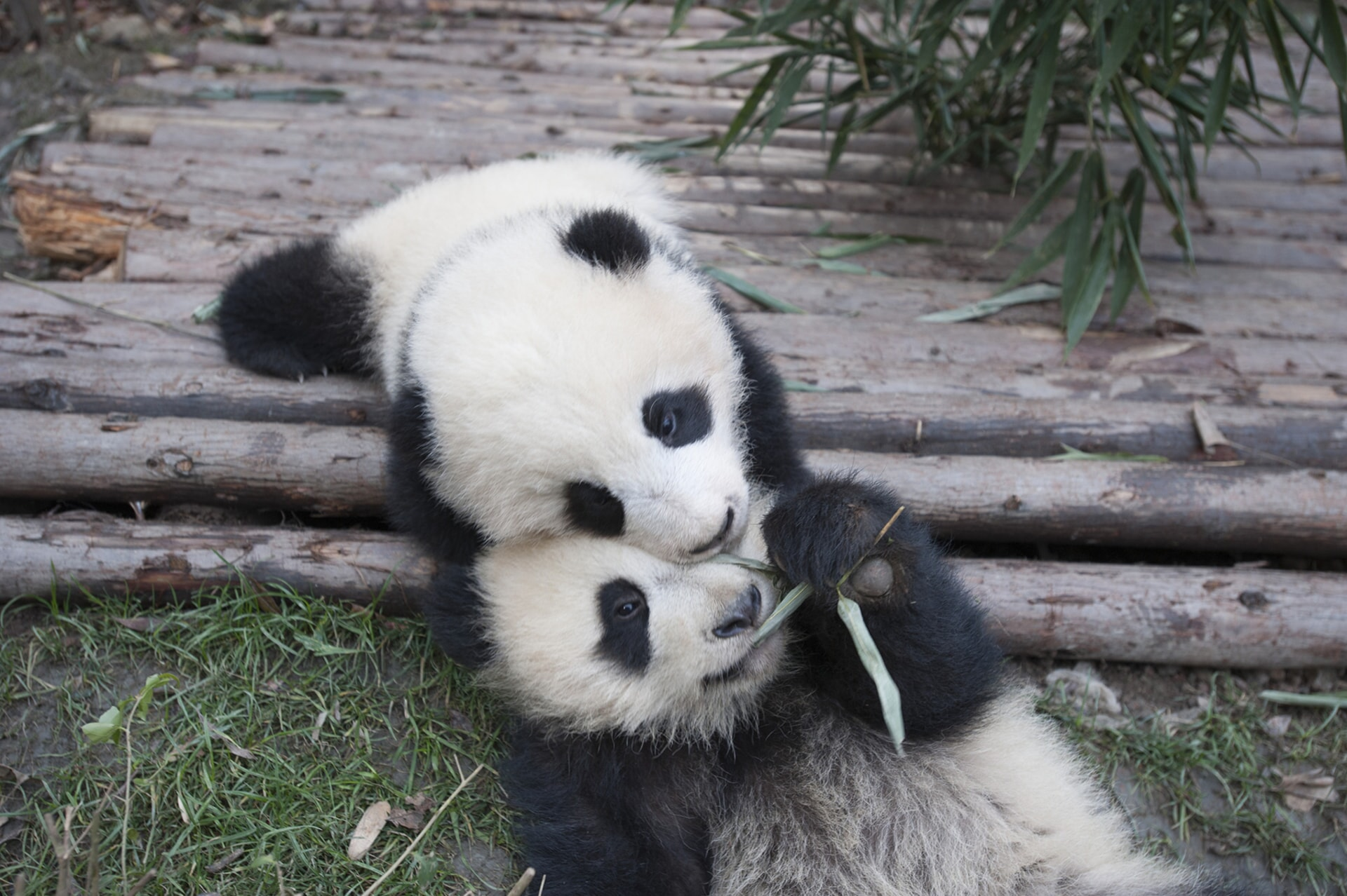 Giant Panda cubs at China's Chengdu Panda Base as seen in the new IMAX® film, PANDAS