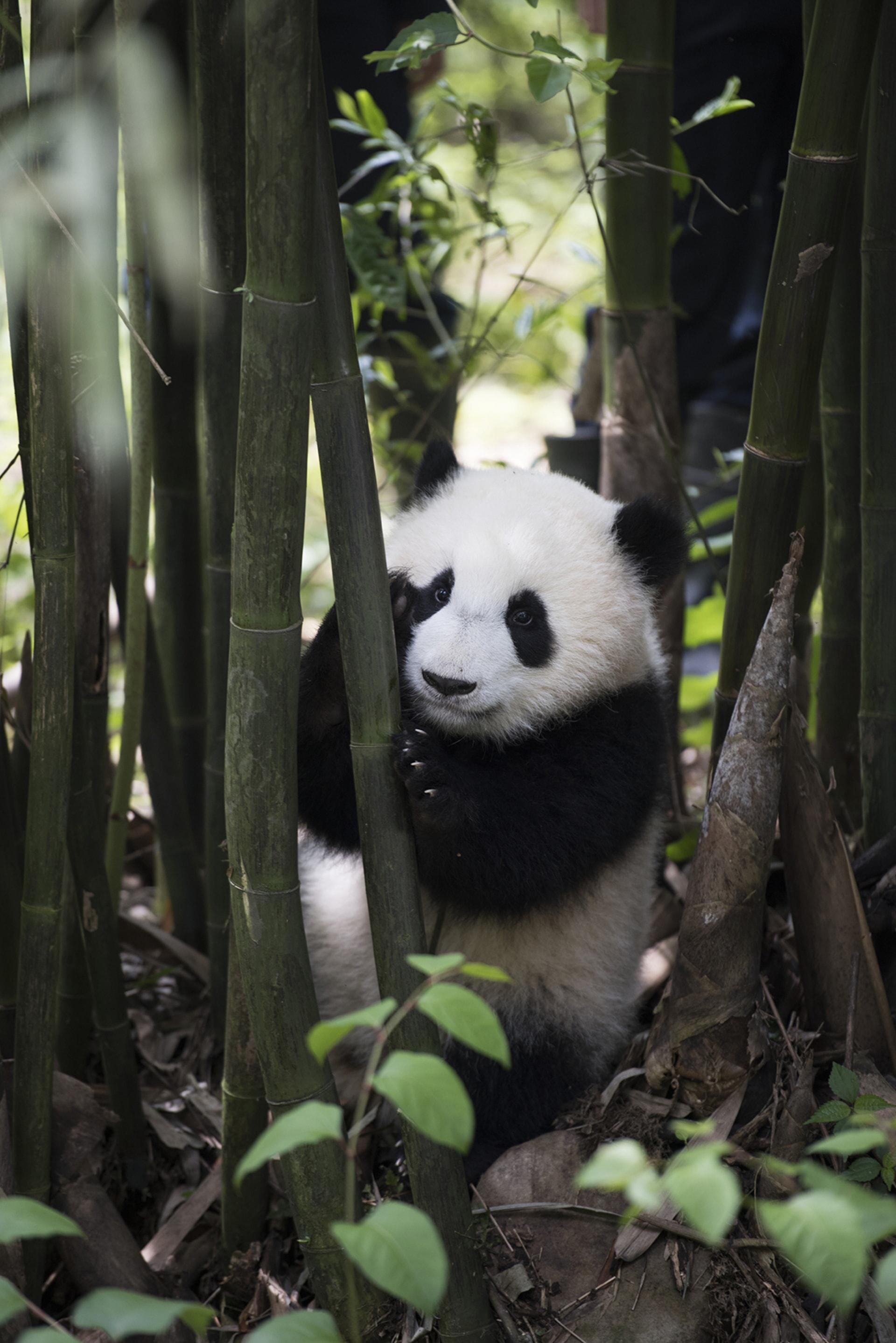 A Giant Panda at Panda Valley in Dujiangyan, China as seen in the new IMAX® film, PANDAS