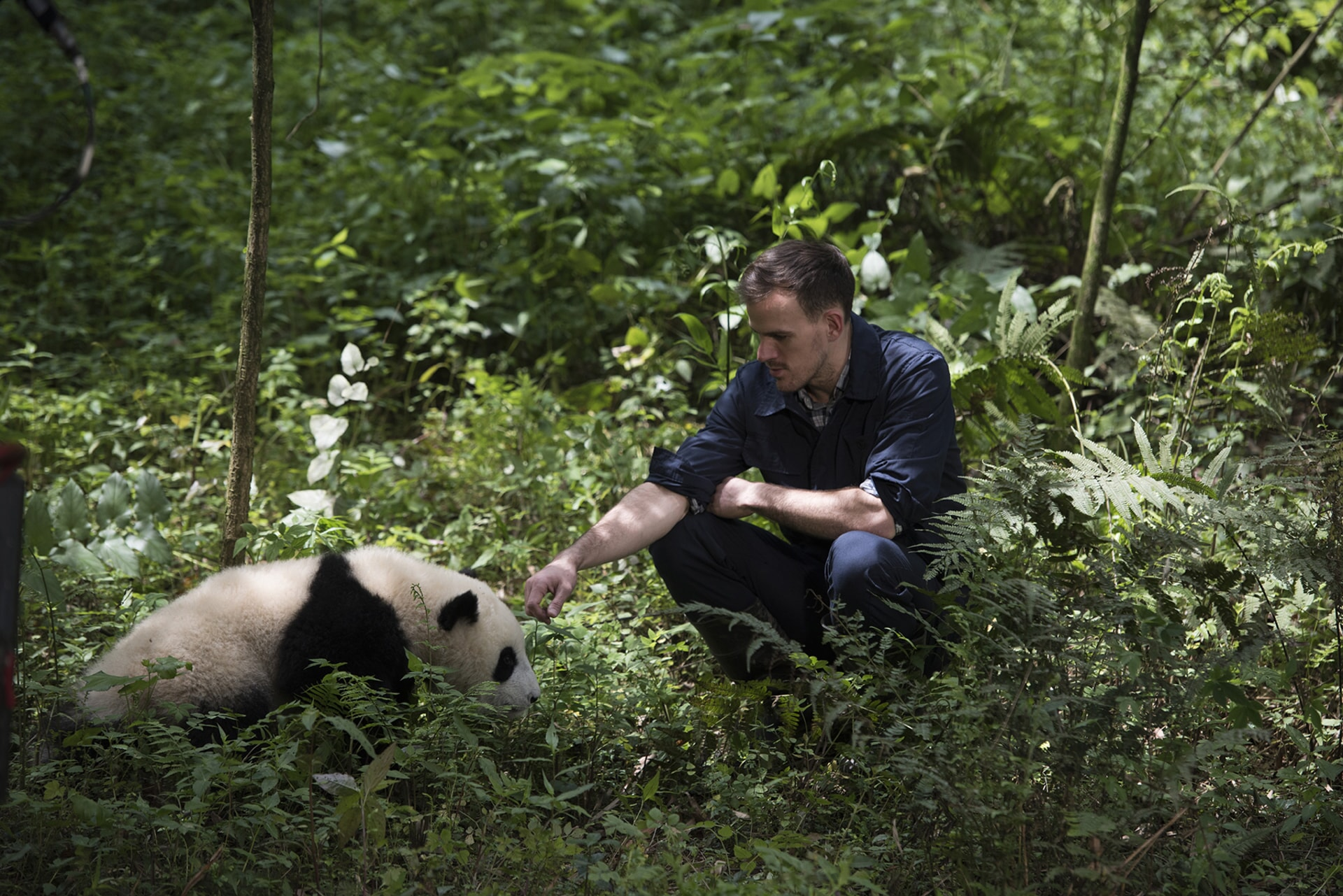 A Giant Panda and DR. JAKE OWENS, Ph.D. (wildlife conservation biologist) at Panda Valley in Dujiangyan, China as seen in the new IMAX® film, PANDAS