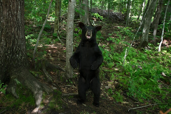 A Black Bear cub at the Kilham Bear Center in Lyme, NH as seen in the new IMAX® film, PANDAS