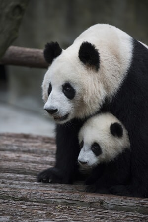 A Giant Panda and her cub at Panda Valley in Dujiangyan, China as seen in the new IMAX® film, PANDAS
