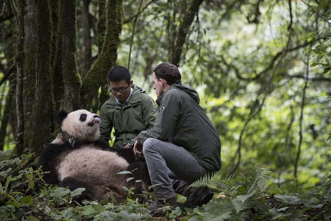 Qian Qian, a Giant Panda raised in captivity, at her home in the Liziping Nature Reserve as seen in the new IMAX® film, PANDAS